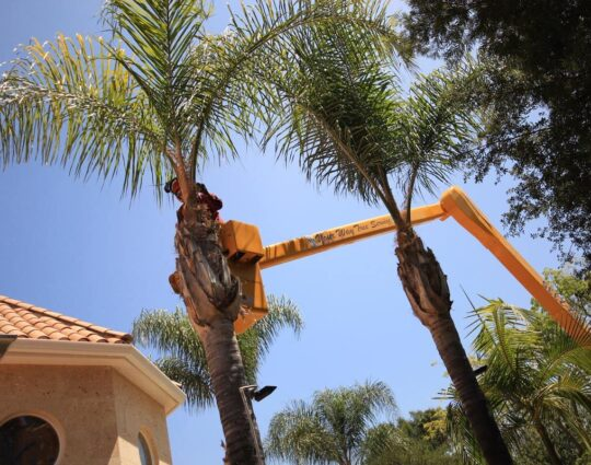 Palm Tree Trimming-Corpus Christi Tree Trimming and Stump Grinding Services-We Offer Tree Trimming Services, Tree Removal, Tree Pruning, Tree Cutting, Residential and Commercial Tree Trimming Services, Storm Damage, Emergency Tree Removal, Land Clearing, Tree Companies, Tree Care Service, Stump Grinding, and we're the Best Tree Trimming Company Near You Guaranteed!